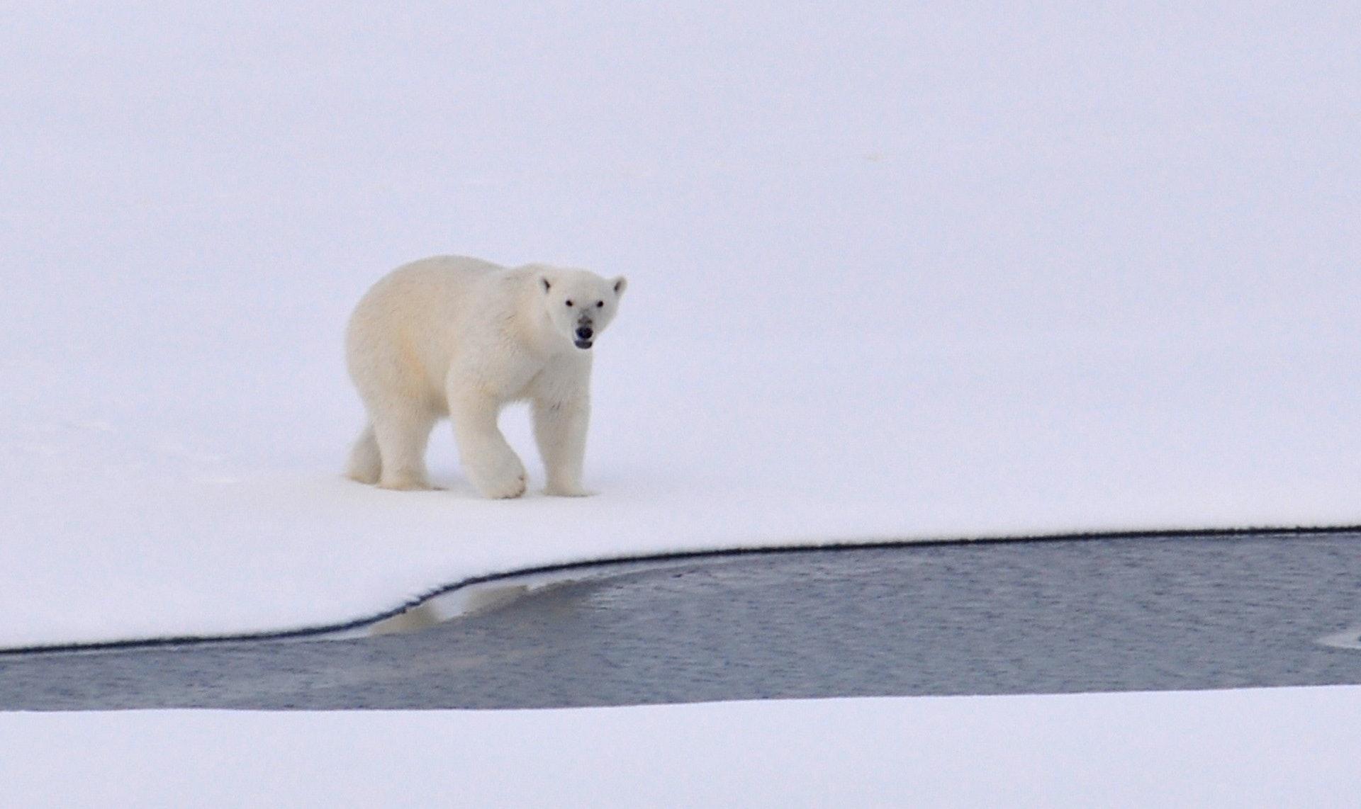 Un oso blanco