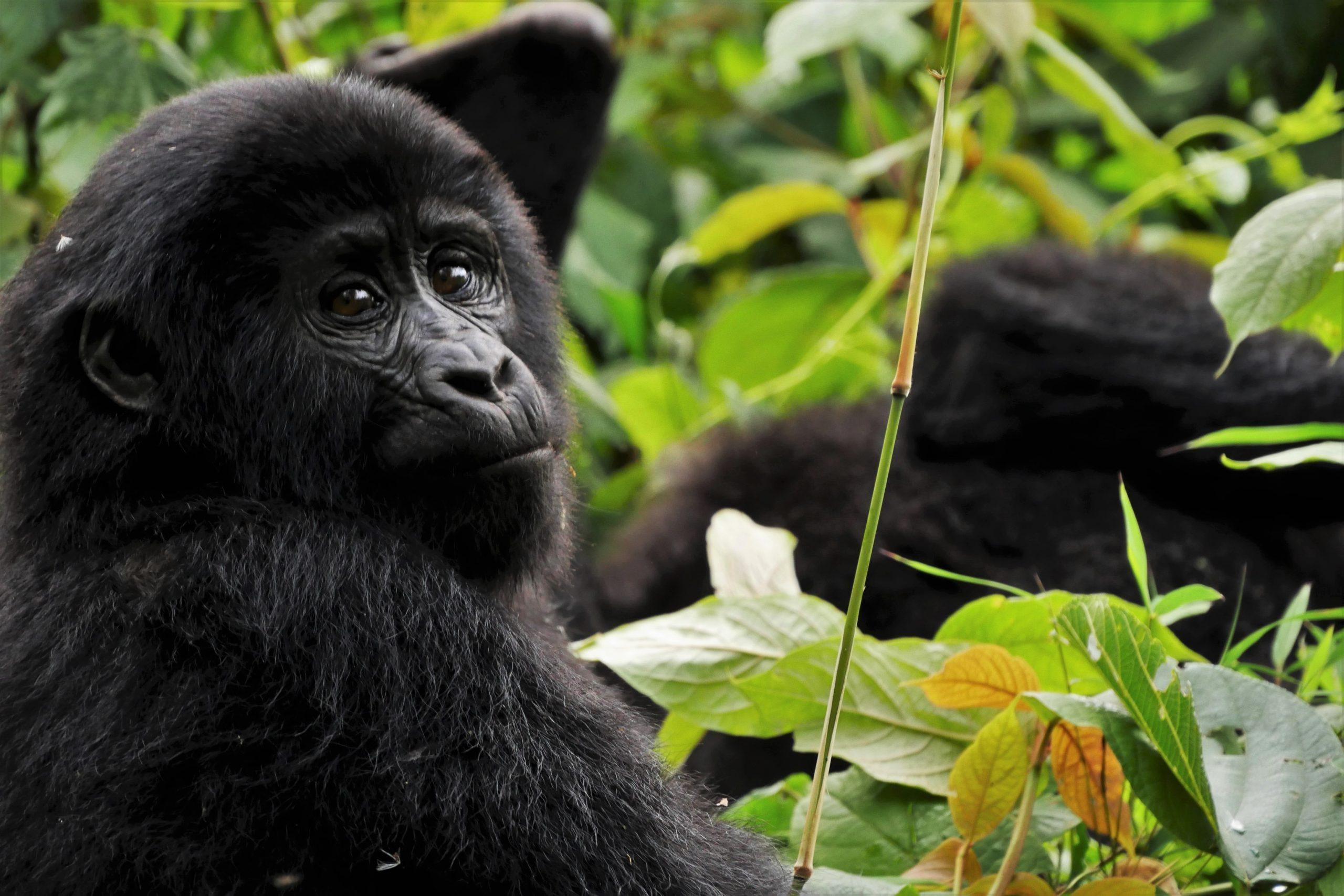 El hogar de los gorilas en la niebla./Foto: Unsplash