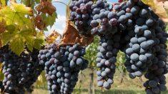 Las uvas son buenas para incorporar en nuestra dieta, gracias a los polifenoles.