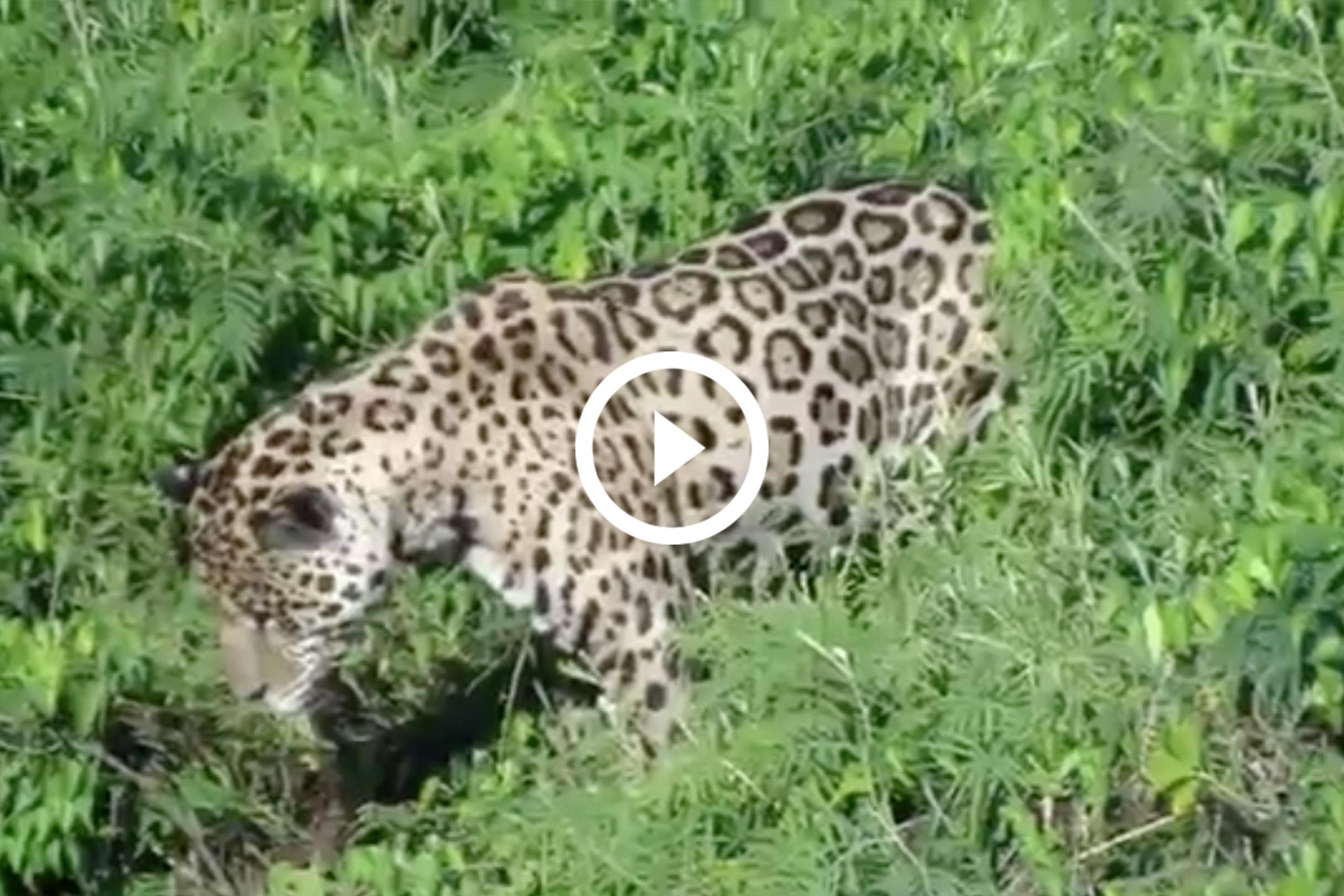 Un jaguar 'pesca' a un caimán