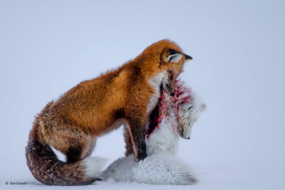 Una historia de dos zorros, fotografía ganadora, de Don Gutoski.