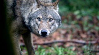 La población de lobos es siete veces superior que en zonas similares. (Foto: Getty)