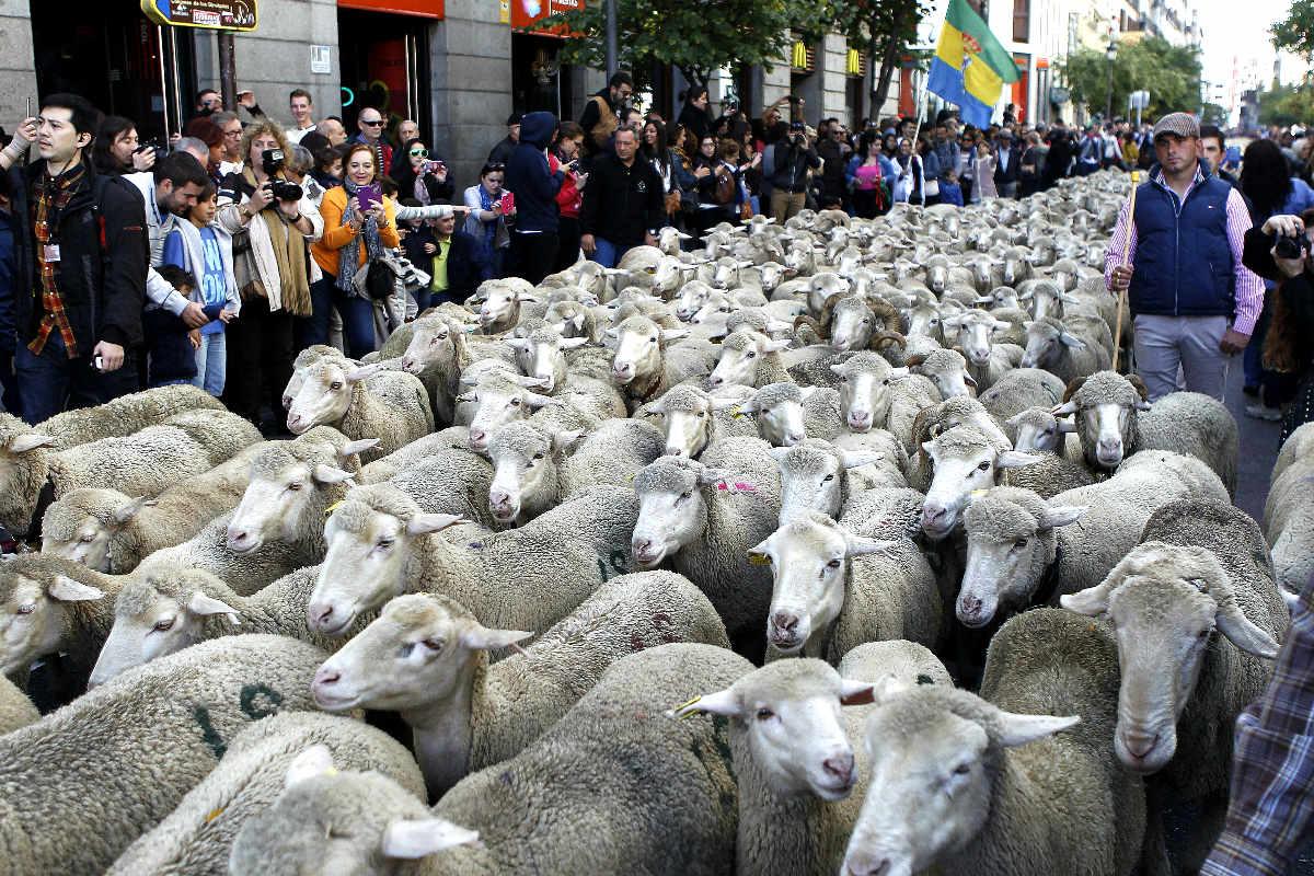 Paso del rebaño por las calles de Madrid (Foto: Efe)