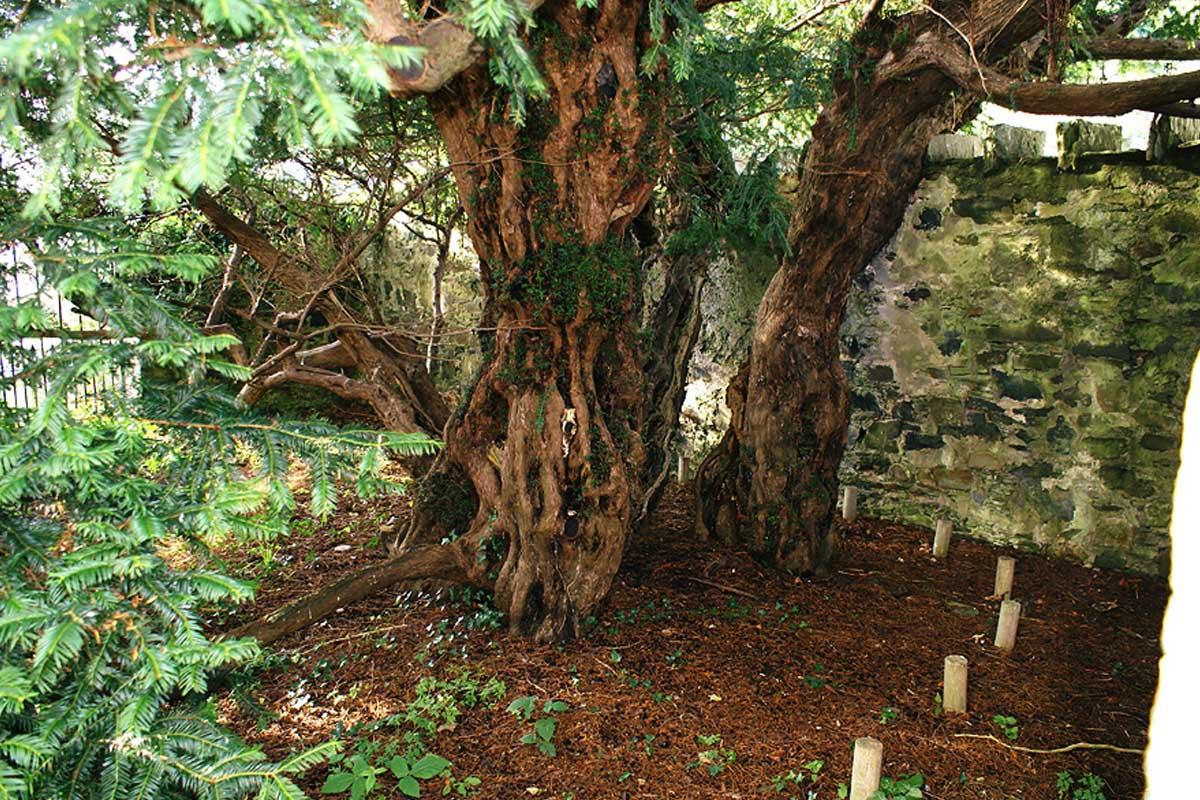 El tejo de Fortingall es considerado el ser vivo más antiguo de Europa.