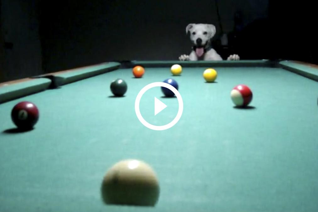 ¡Qué maestría la de este perro jugando al billar!