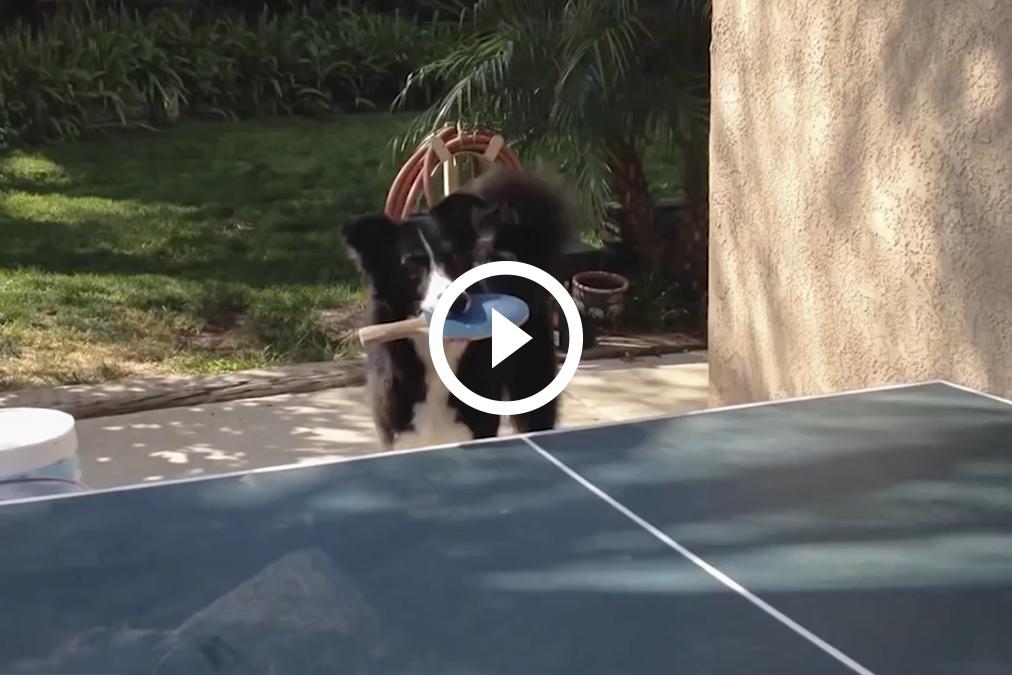 El increíble perro que juega al Ping Pong