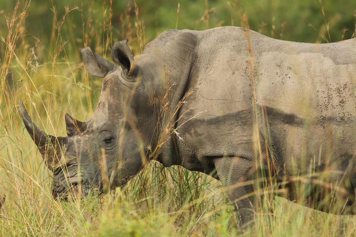 Rinoceronte en el Parque Nacional de Kruger, Sudáfrica (Foto: GETTY).