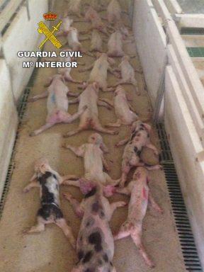 Lechones maltratados en la explotación porcina de Huércal-Overa. (Foto: Guardia Civil)
