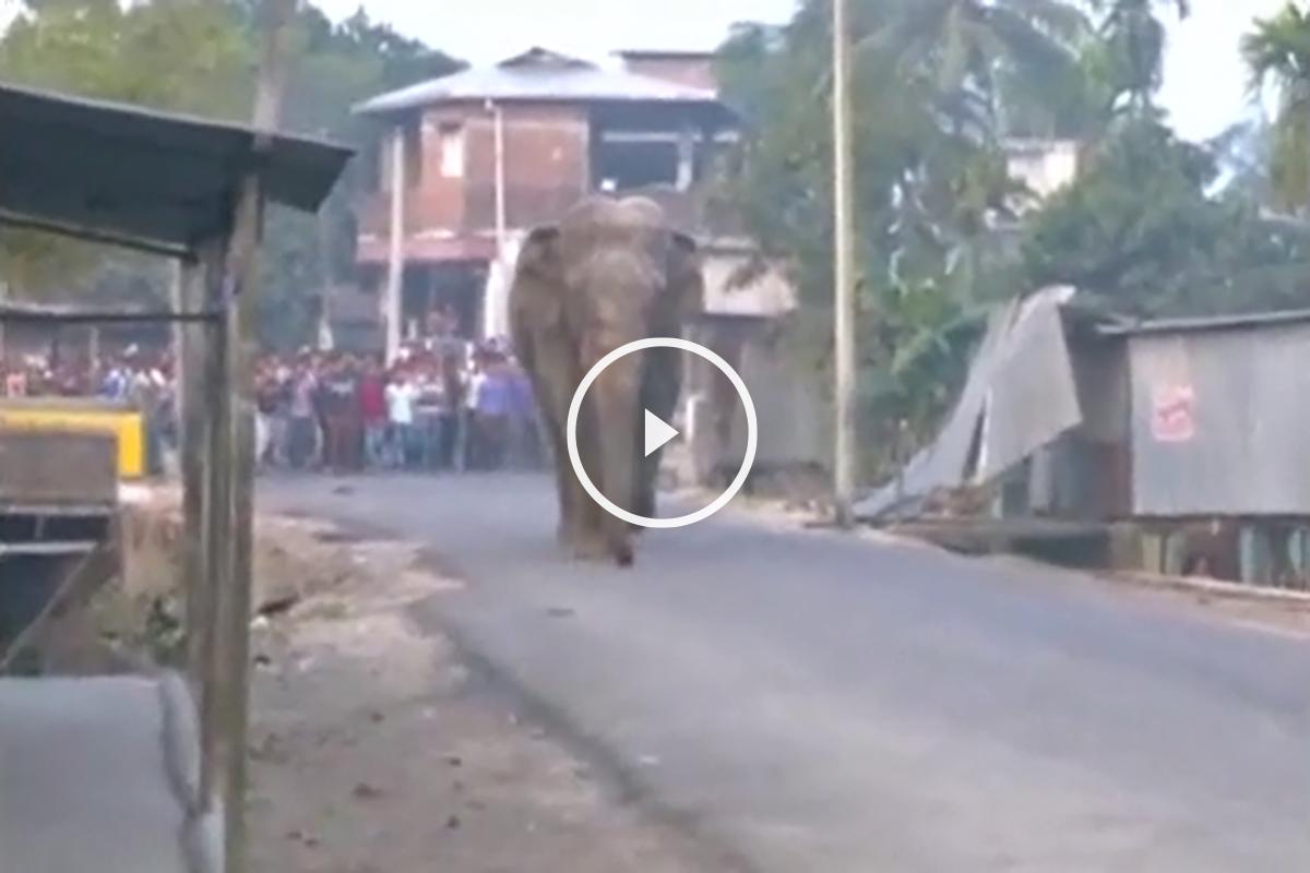 Los intentos de los autóctonos y de los forestales no han evitado que el animal irrumpa en el centro urbano