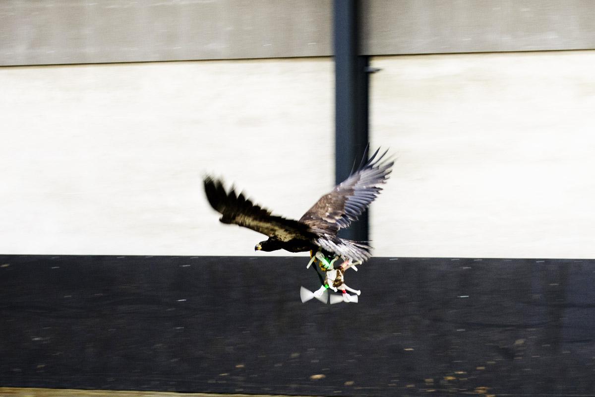 Un águila captura un don durante una prueba (Foto: Reuters)