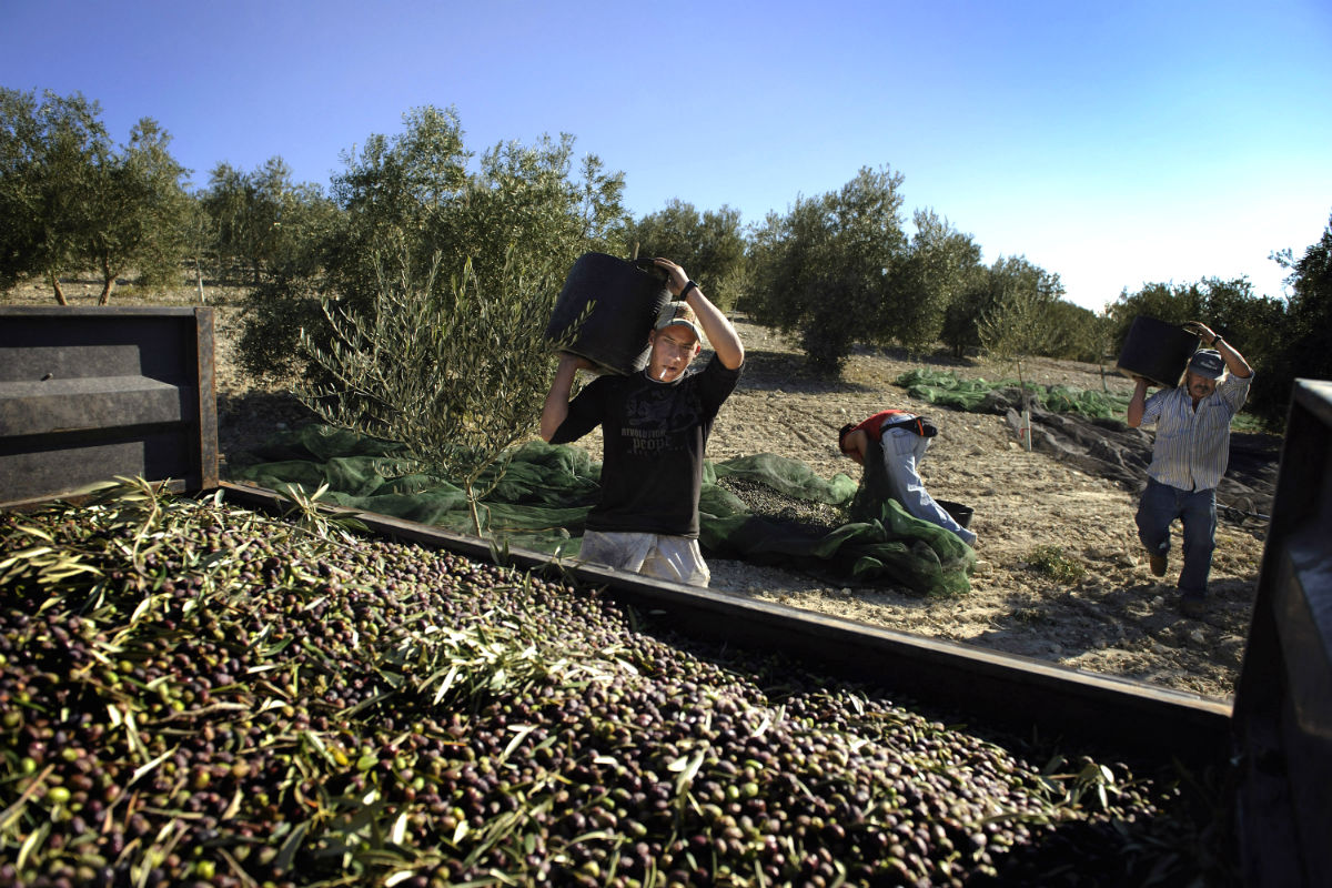 Trabajadores en una explotación en la localidad cordobesa de Carteya la Nueva. (Foto: Samuel Aranda/Guetty)