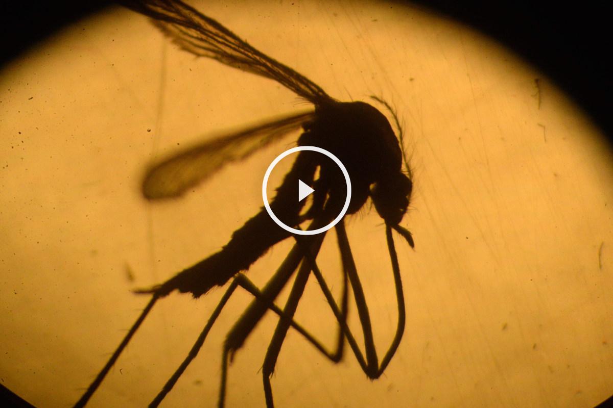 Hasta la fecha, la vía de contagio demostrada es por medio de la picadura de un mosquito infectado. (EP)