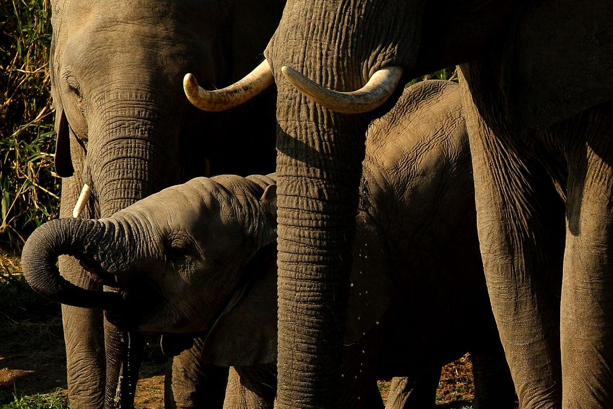 Una familia de elefantes bebiendo agua en África ( Getty).