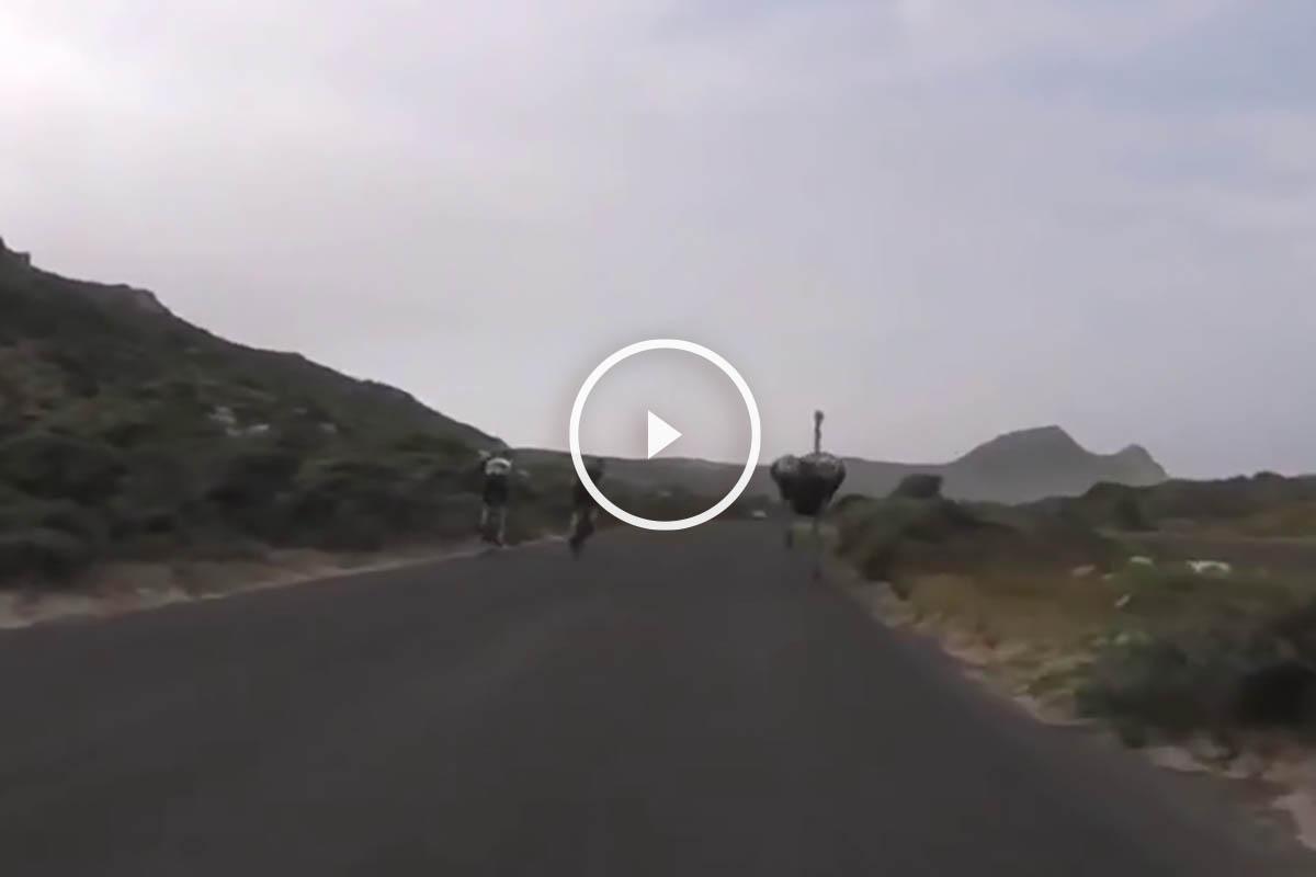 Carrera de una avestruz