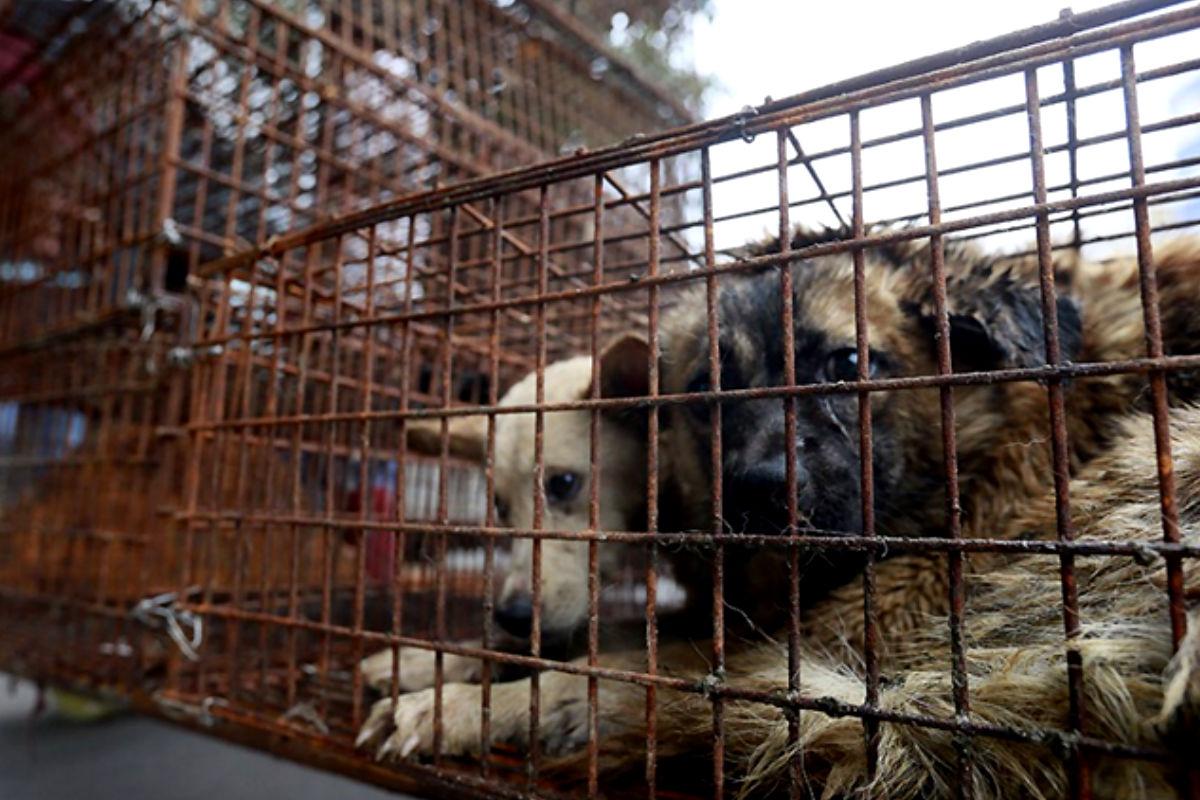 Imagen de unos perros que serán matados para comer su carne en China.