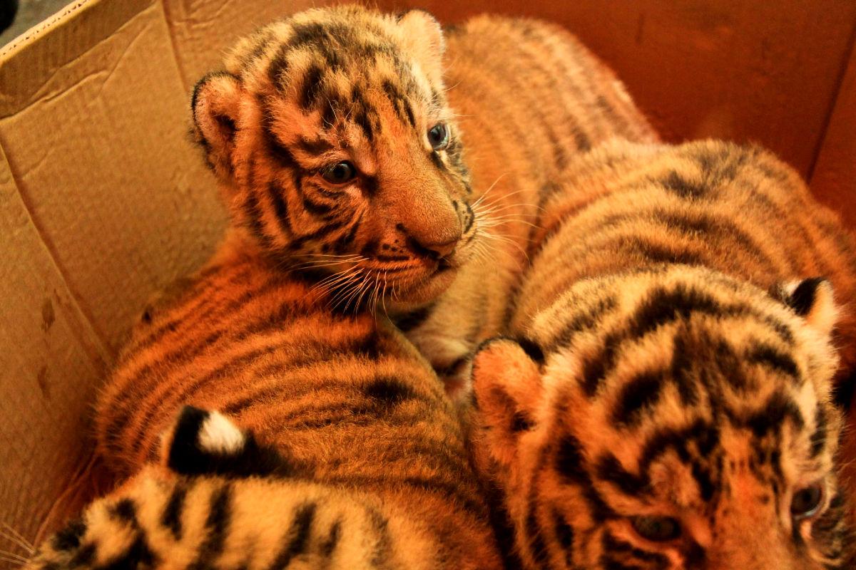 Imagen de unos tigres recién nacidos en la India.