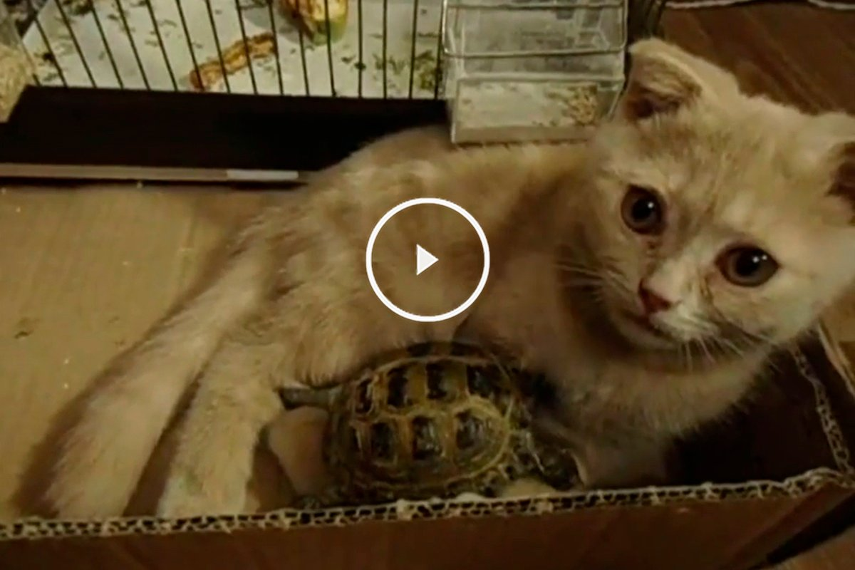 Curiosa amistad formada entre un gato y una tortuga