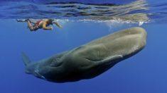 Los cachalotes son los animales dentados más grandes que existen y el mayor depredador del mundo animal. (Foto: Getty)