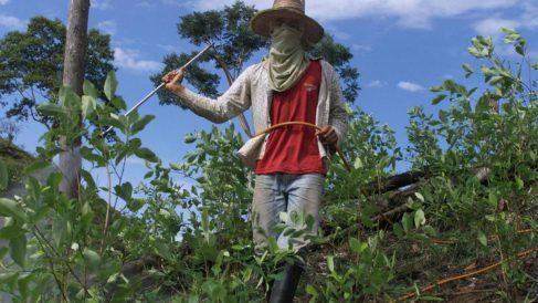 Plantadores de coca en Colombia, un negocio en alza. (Getty)