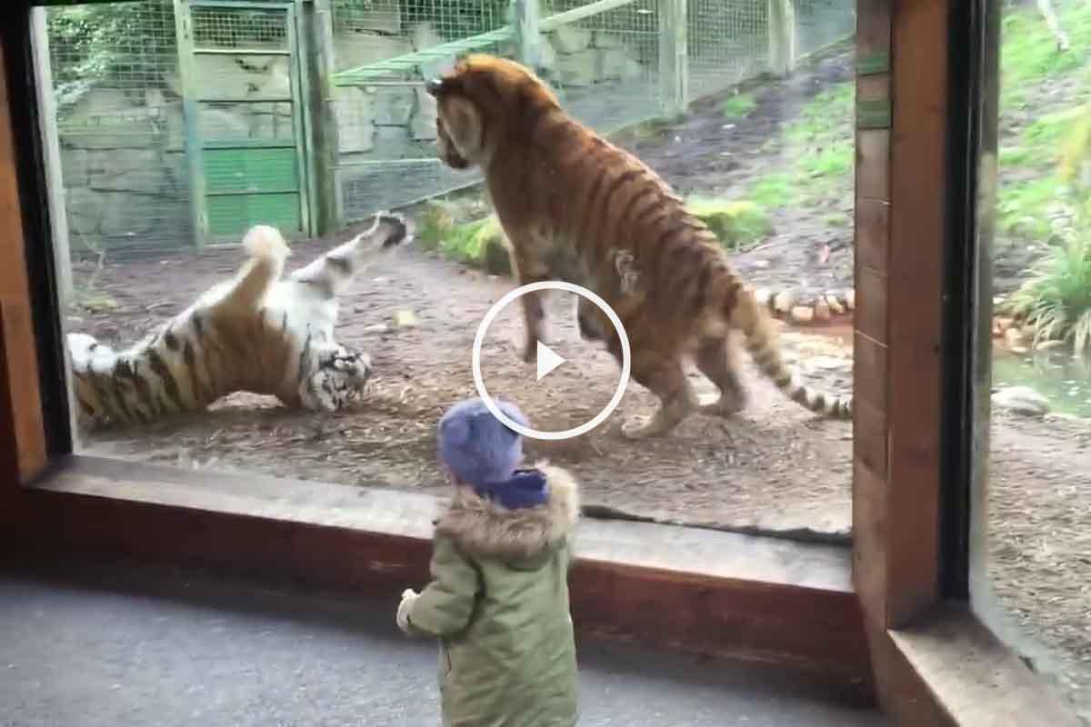 Tigre con mala leche