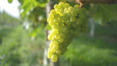Uva blanca (Foto: Getty)