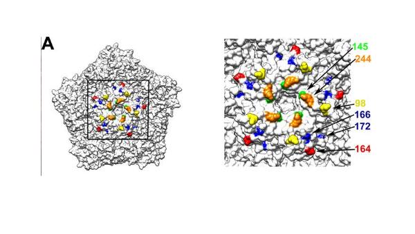 Reproducción infográfica del enterovirus A71.  (JVI)