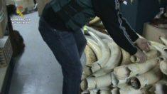 Un miembro del Seprona con los colmillos incautados. (Foto: Guardia Civil)