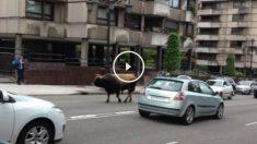 Un toro extraviado deambulando por calles de la capital de Asturias, Oviedo.