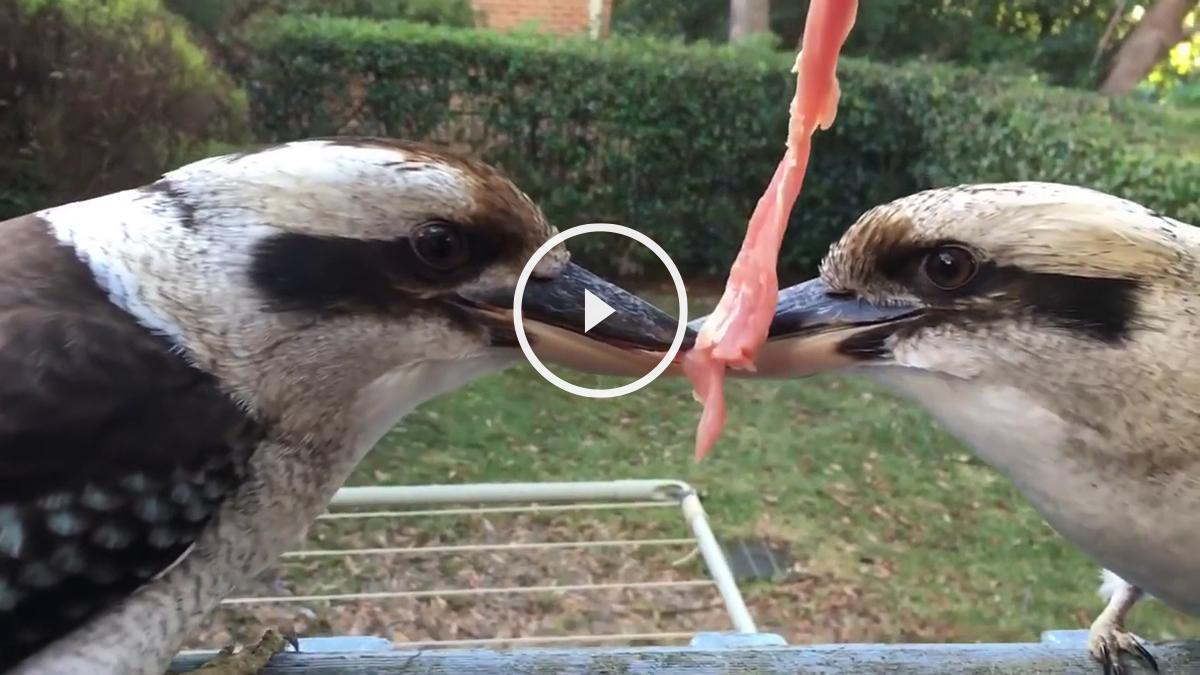 Dos pájaros luchando a muerte por un trozo de carne