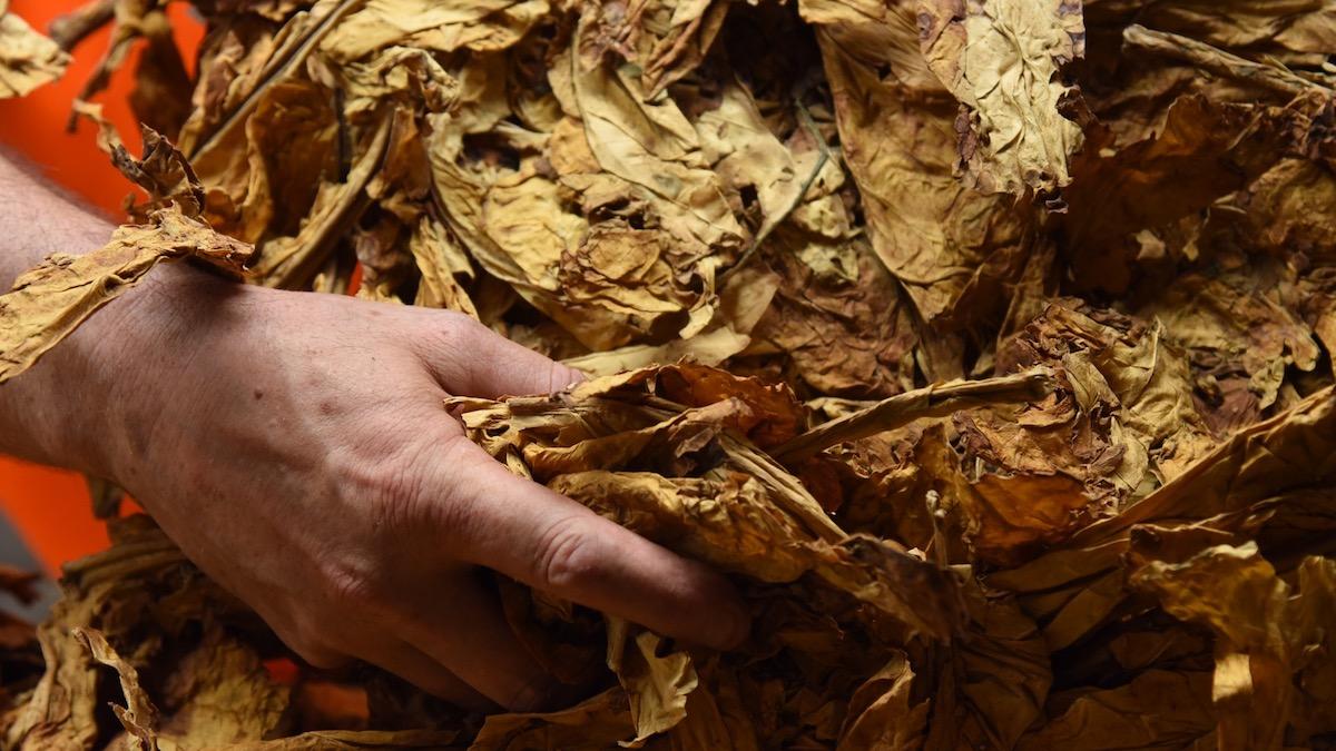 Un agricultor con hoja de tabaco.