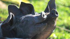 Cerdos en la dehesa (Foto: istock)