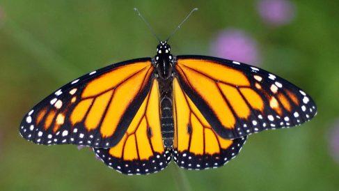 Mariposa monarca. (Foto: WWF)