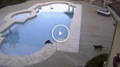 gatos-piscina