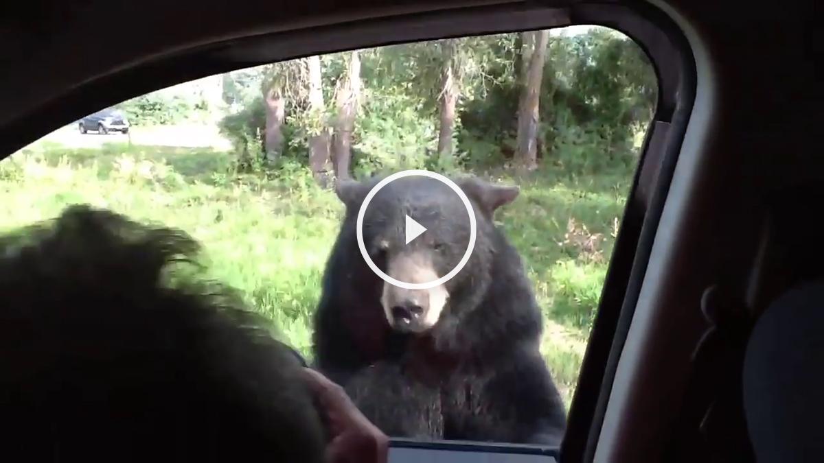 oso-coche