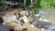 Un cocodrilo asesino devora a su presa bajo la atenta mirada de unos turistas