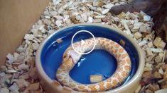 Serpiente albina comiéndose a sí misma
