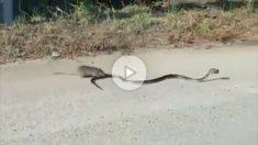 rata-serpiente