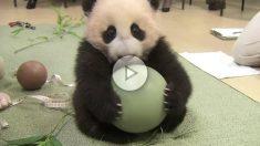 panda-pelota