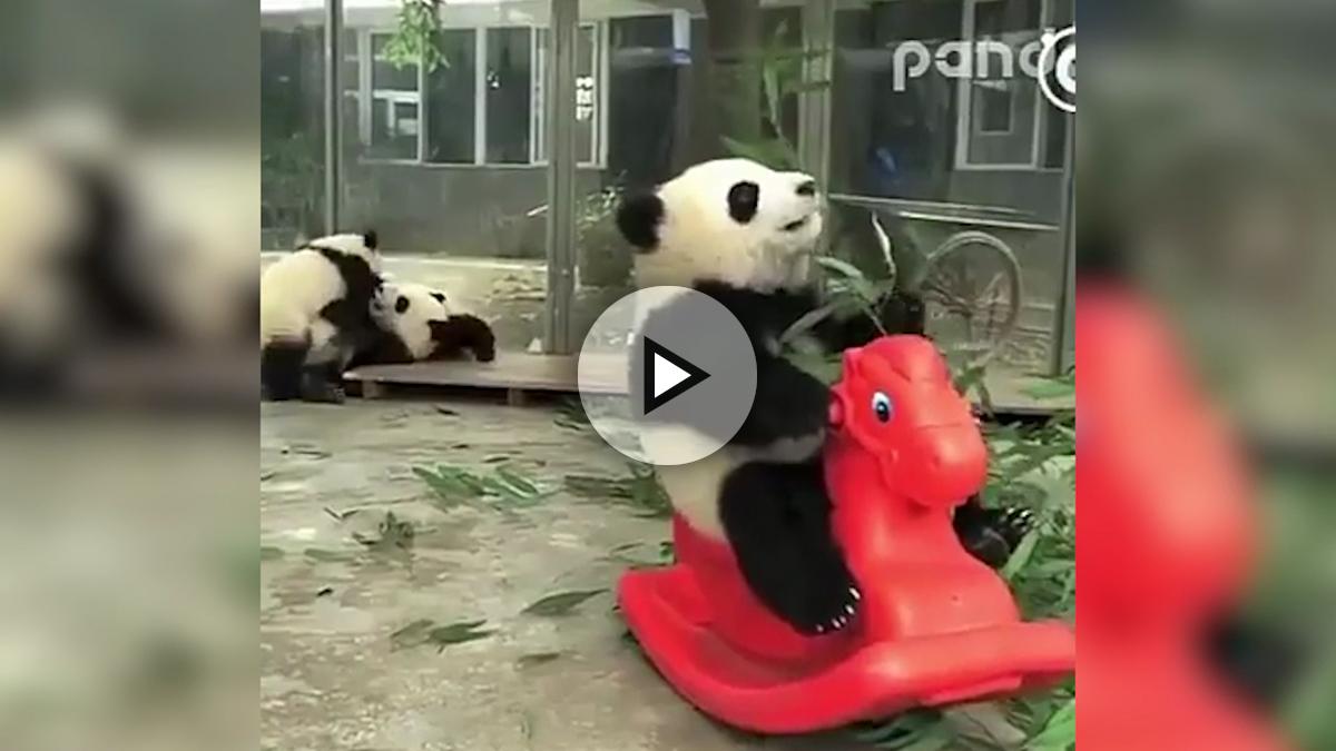 Panda que sabe jugar y comer a la vez