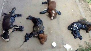 Los cuatro cachorros torturados en la ciudad rumana de Iasi. (CEN)
