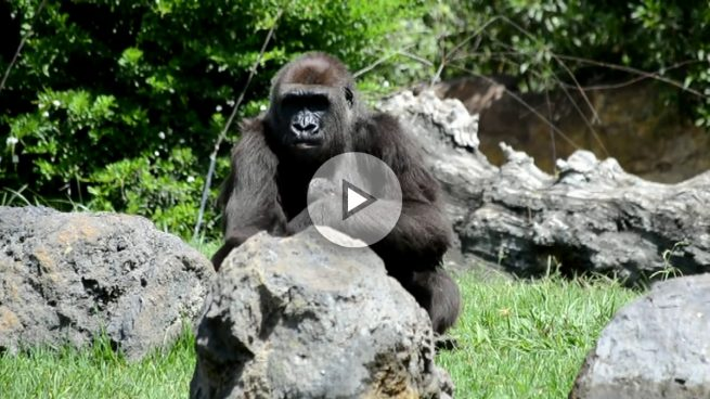 Un gorila da a luz  delante de un grupo de turistas en Valencia