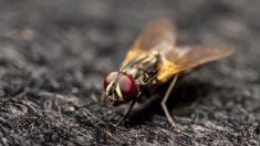 Descubre cuánto tiempo vive una mosca
