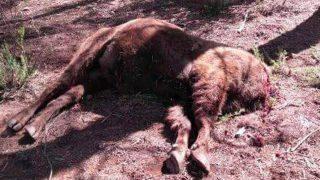 El Seprona ha localizado dos bisontes decapitados en la reserva valenciana de Benagéber.
