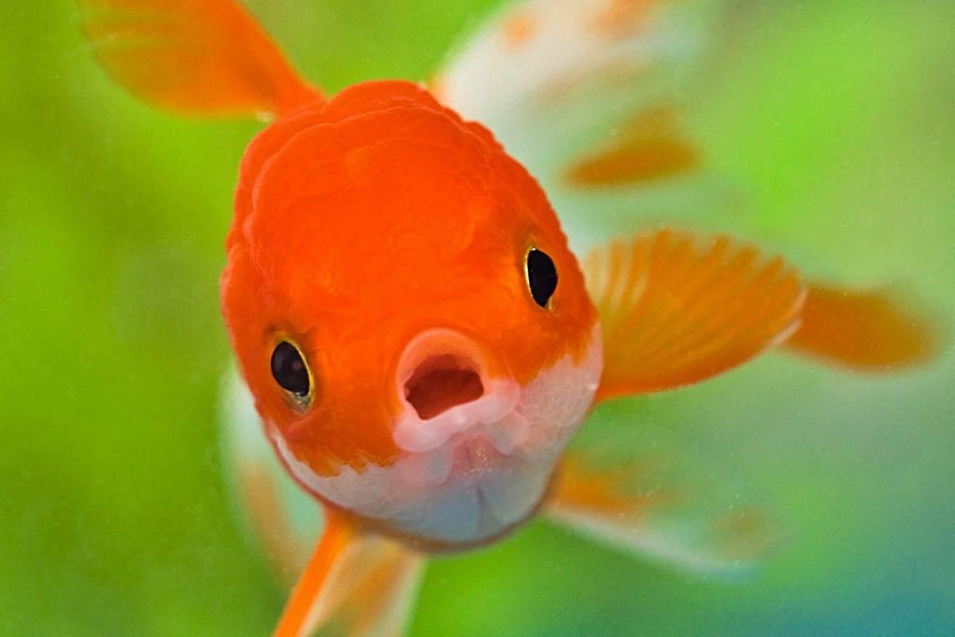 Resultado de imagen para pez dorado sin oxigeno