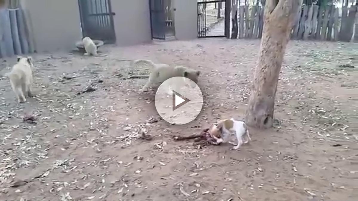 perro-leones