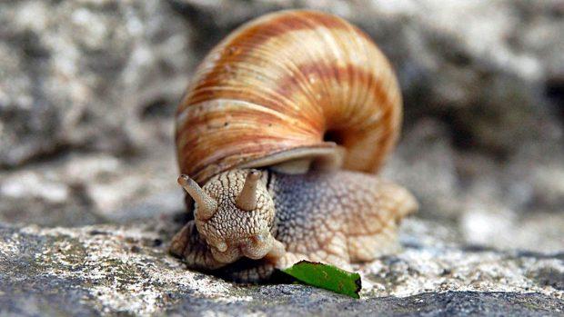 concha caracoles como hacen