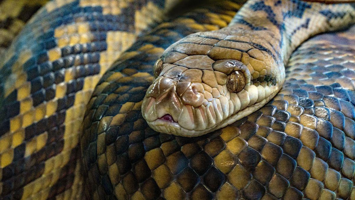 La serpiente más larga del mundo