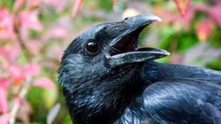 10 curiosidades del cuervo que lo convierten en una de las mejores aves
