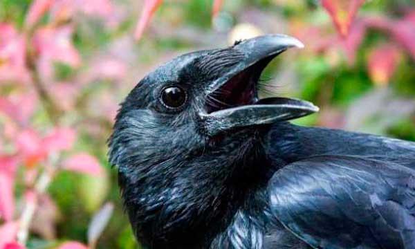 Cuervo: 10 curiosidades que lo convierten en una de las mejores aves