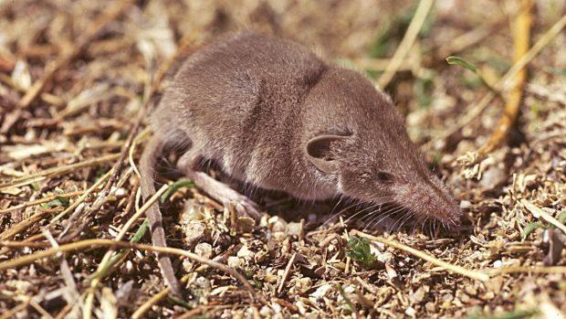 mamiferos-pequenos-musarana-etrusca